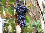 Pics of the Grapes we grew
